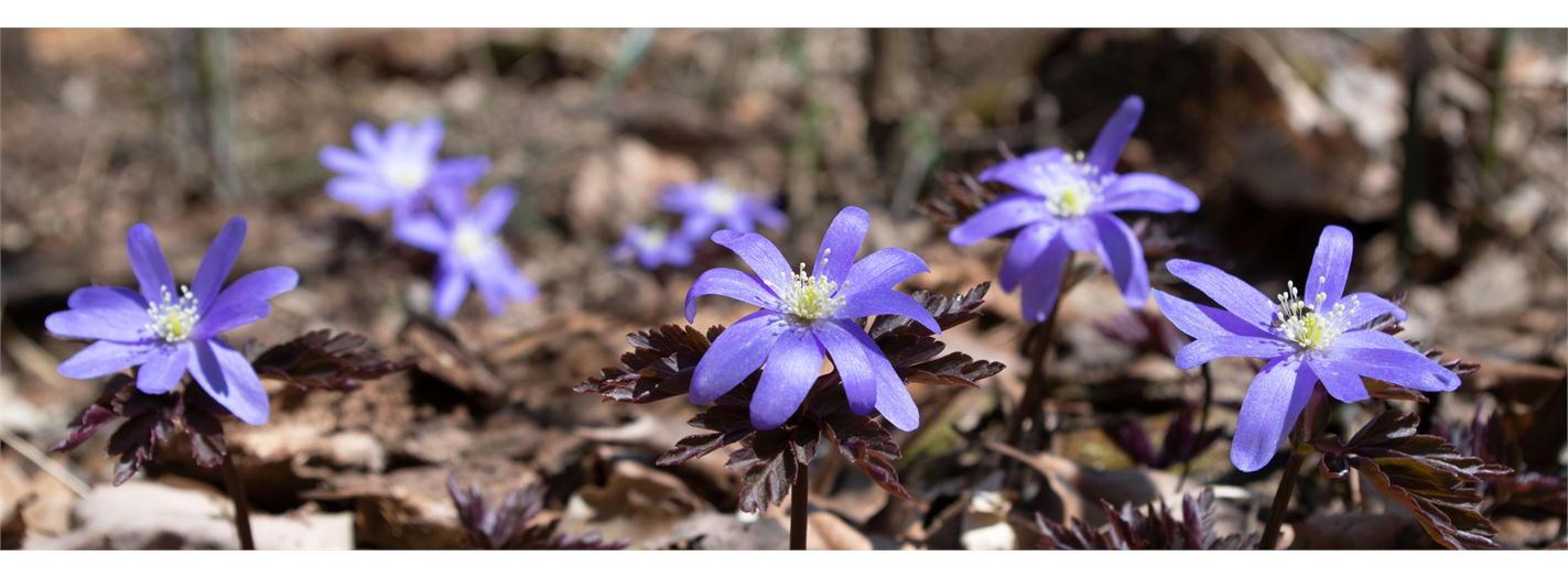 春の妖精(キクザキイチゲ)